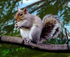 squirrel1.jpg (12809 bytes)